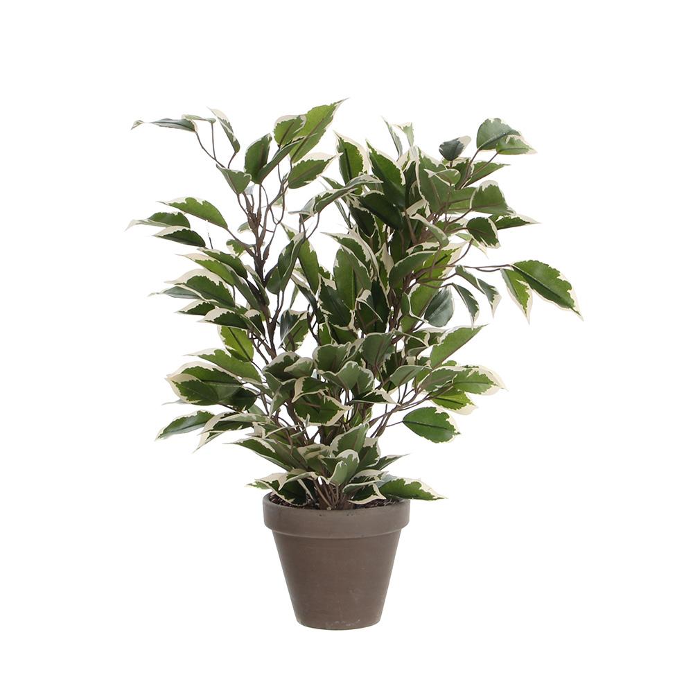 Ficus Natasja Jaspeado Con Maceta 4X11.5Cm